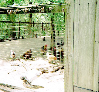 Farm chickens in a cage.