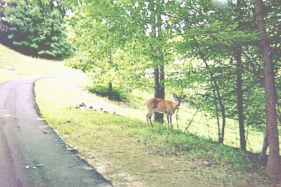 Deer standing along nature trail.