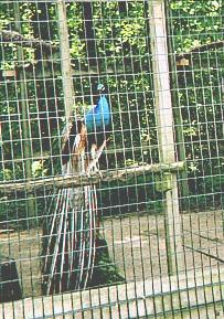 Caged farm peacock.